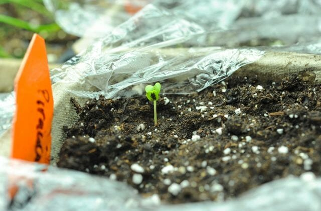 why vegetable seedlings stretch and get spindly