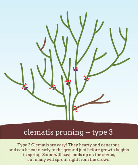 Fear Not How To Prune Clematis With Dan Long A Way To