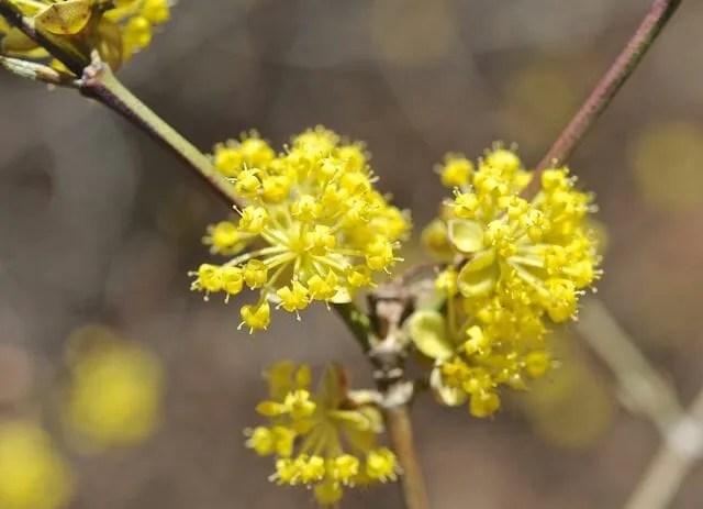 Beating forsythia to springs flowering shrub punch a slideshow of cornus mas flower detail mightylinksfo