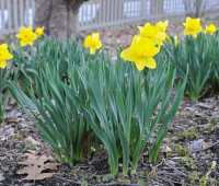 Why do my daffodils have few or no flowers?
