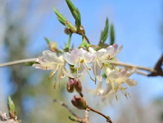 winter honeysuckle, Lonicera fragrantissima