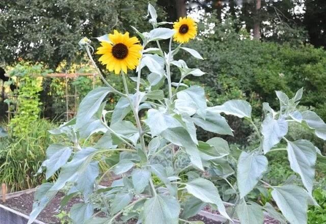 Helianthus argophyllus sunflower variety 'Japanese Sliver-Leaf'
