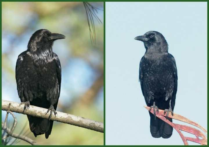 crow or raven 2