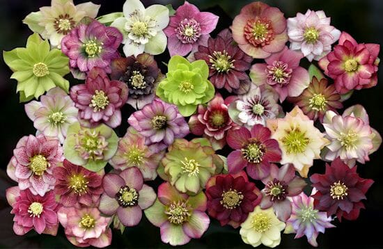 Hellebore flowers from Barry Glick/Sunshine Farm