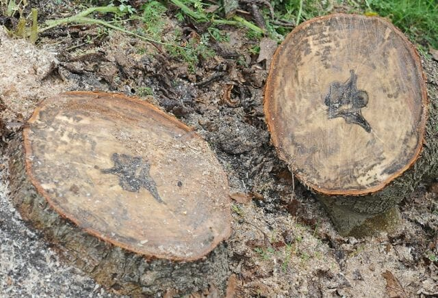 Magnolia stump shows dark tissue inside