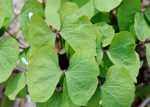 twinleaf-or-jeffersonia-leaf-detail