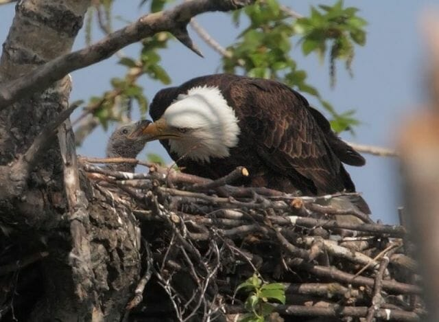 Bald eagle and nestling by Tom Grey