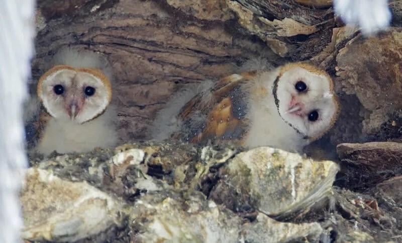 Barn owl nestlings, by Tom Grey