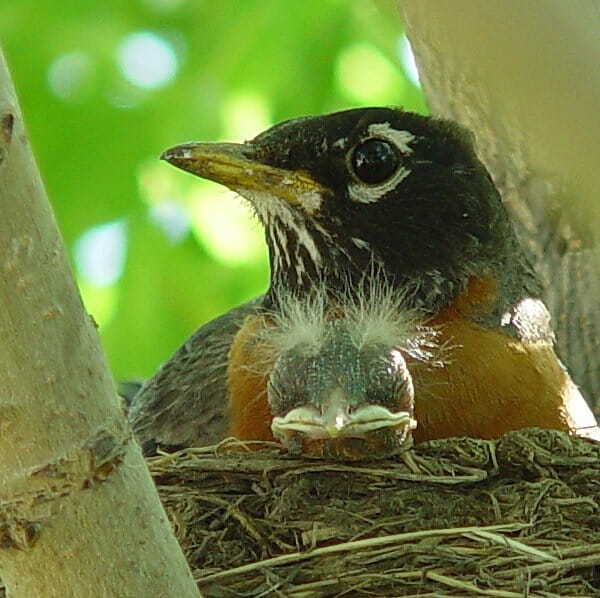 Altricial baby robin with male adult in nest. Ann McRae photo.