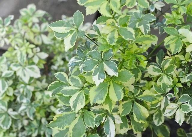 tough beauty: the shrub called eleutherococcus - A Way To Garden