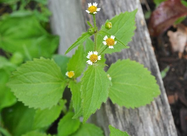 Galinsoga ciliata, or Galinsoga quadriradiata, a weed