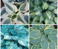 6 lessons about hosta, with tony avent