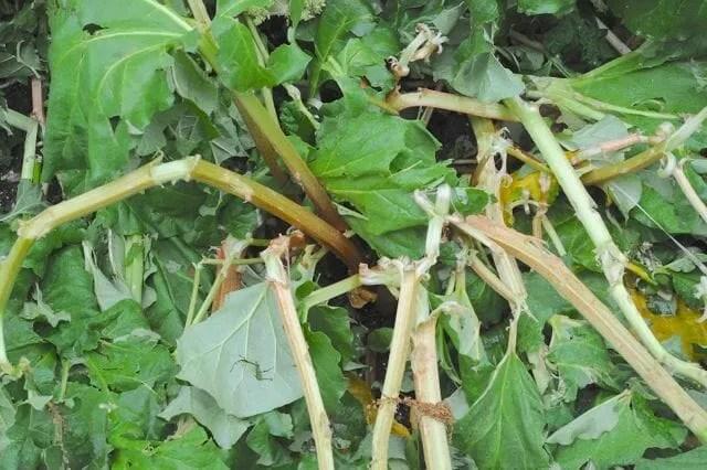 rhubarb after hailstorm