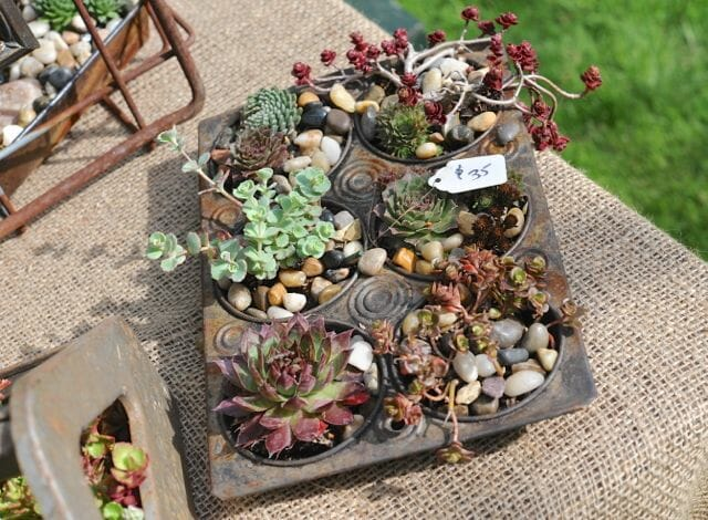 Succulents in muffin tins by Sweet Haven Farm of Salisbury