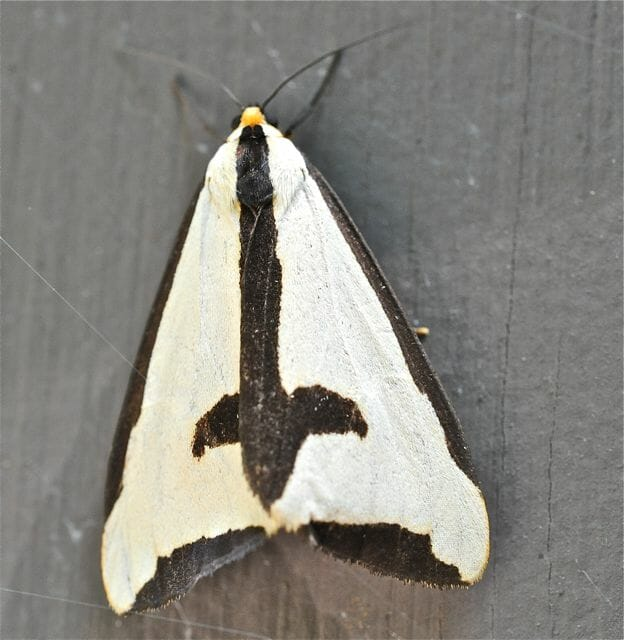 Clymene moth in Copake Falls, New York on Aug. 2, 2012