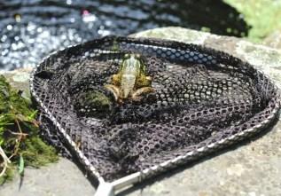 frog-in-pond-net-jpg