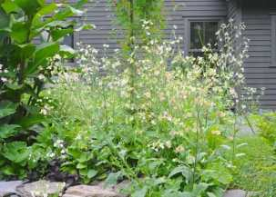 nicotiana-in-the-patio-august-jpg