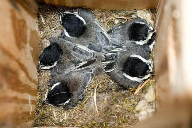 Chickadees inside a nestbox © Thomas LeBlanc