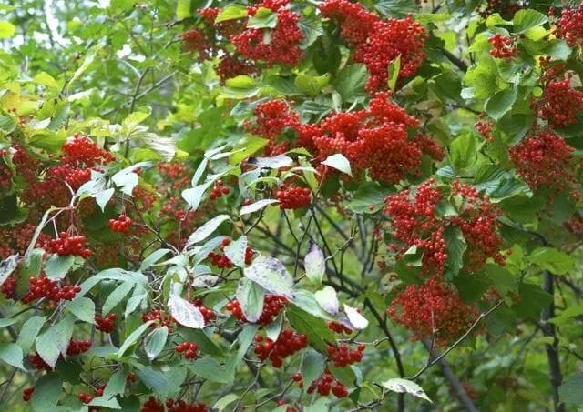 viburnum fruit 2