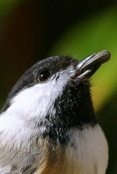 Black-capped-Chickadee-seed-Jeremy-Gettysburg-PA