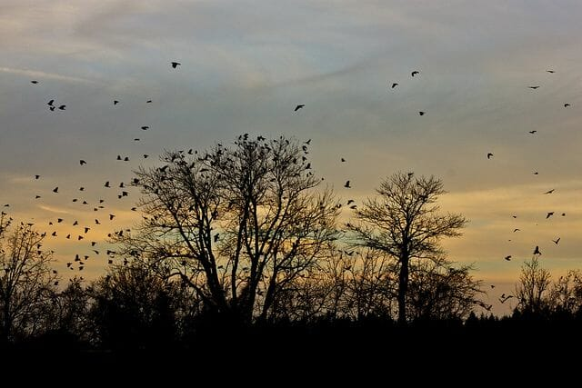 #ds56 - Crows in Silhouette