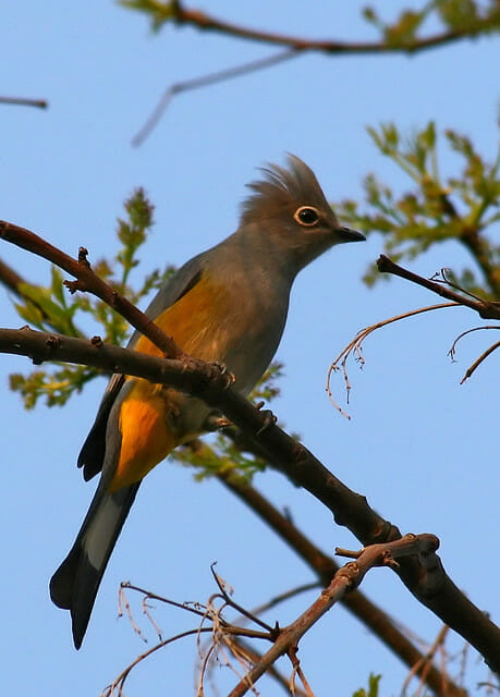 Gray Silky-flycatcher - Pablo Leautaud