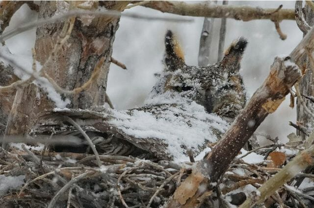 Great horned owl in a snowy nest (photo by David Stephens).