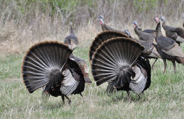 Male turkeys display for females, by Rodney Campbell