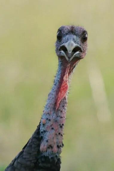 Wild turkey by Joanne Kamo