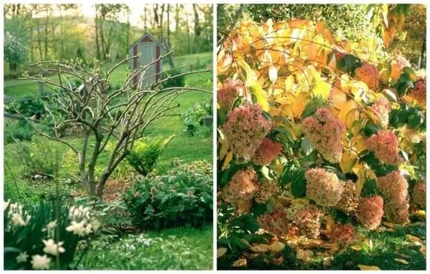 hydrangea paniculata pruning