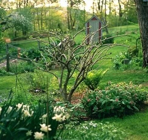 Pee gee Hortensie Baum Prunning