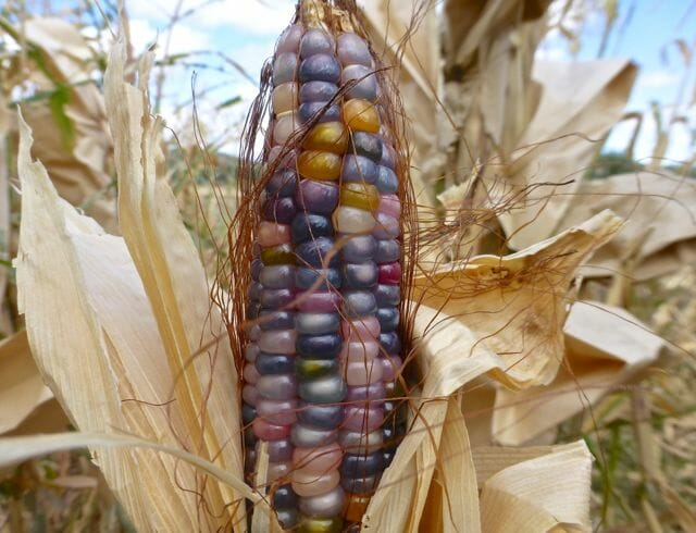 Glass Gem corn at Native Seeds/SEARCH