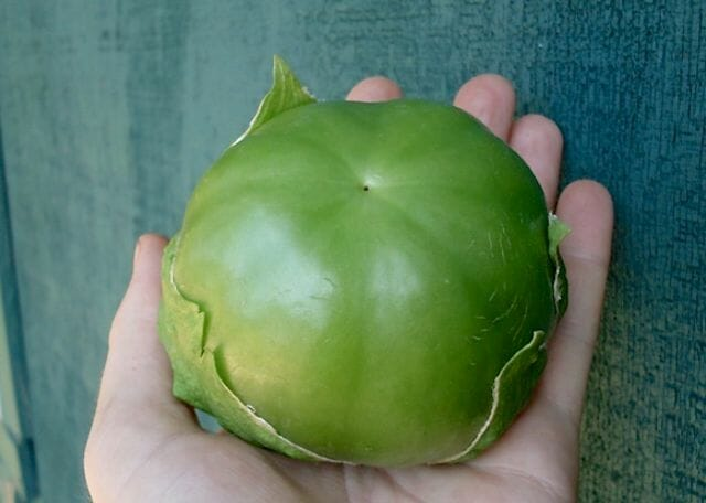 Plaza Latina giant tomatillo from Adaptive Seeds