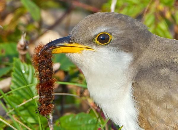 Yellow-billed Cuckoo © Phil Brown-600