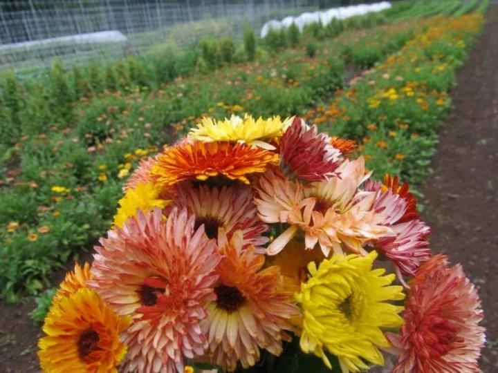 Flashback calendulas at Hudson Valley Seed Library