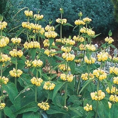 Phlomis russeliana at High Country Gardens