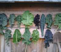 how to grow kale, with sarah kleeger of adaptive seeds