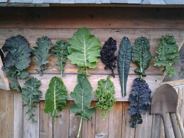 Kale diversity photo, Nick Routledge