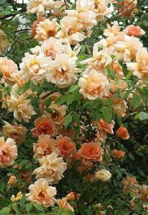Crepuscule rose from Brushwood