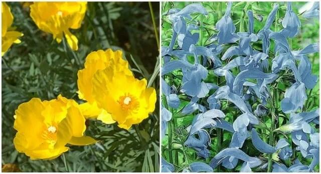 hunnemania and cambridge blue salvia