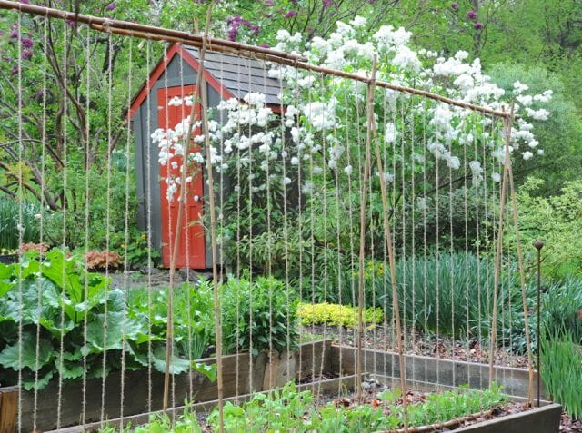 pea trellis with string