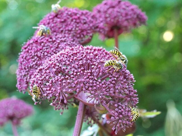 pollinator insects on angelica gigas