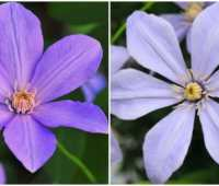 giveaway: fragrant clematis, and more scented climbers, with dan long