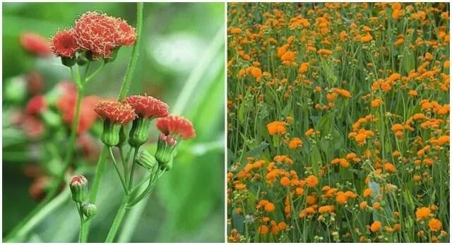 tassel flowers