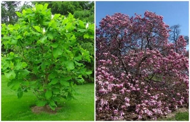 Magnolias ashei and Betty