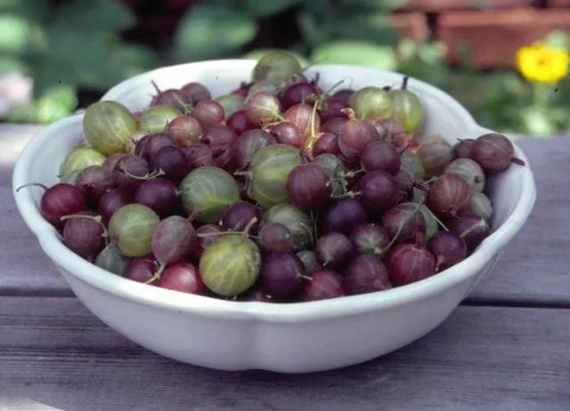Ribes gooseberries in bowl