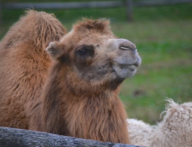 camels at steinhart