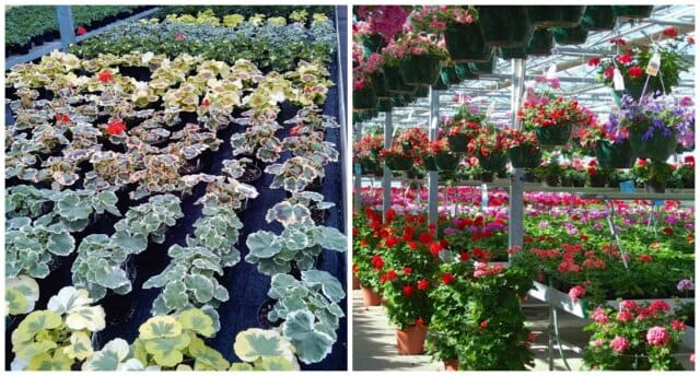 geraniums growing at shady hill