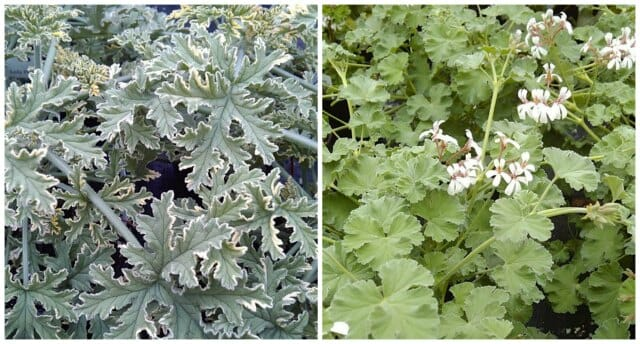 mint scented rose and pine geraniums