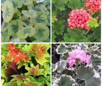 rethinking the plain old geranium, with shady hill